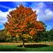 Maple Tree in Polarized Light
