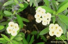 Yellow Crown-of-thorns, coroa-de-cristo amarela, Cotia, Brazil (Sebastiao P Nunes) Tags: euphorbiamilii euphorbiaceae crownofthorns coroadecristo coronadeespinas