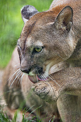 Puma licking his paw (Tambako the Jaguar) Tags: puma big wild cat profile portrait face close licking grooming paw looking grass vegetation salzburg zoo austria nikon d5 cougar mountainlion