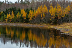 Colorful Larches By The Lake (TheNovaScotian1991) Tags: victoriapark canada colchestercounty novascotia truro tamaracklarch autumn autumncolors forest fallcolors fall nikond7100 nikkor55300mmf4556gedvr beautiful landscape water lepperbrook reservoir