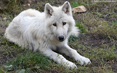 Hudson bay wolf - Zoo Amneville (Mandenno photography) Tags: animal animals dierenpark dierentuin dieren zoo zooamneville amneville france frankrijk nature ngc natgeo natgeographic bbcearth discovery