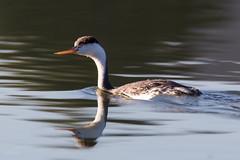 Clark's Grebe (Lisa Roeder) Tags: lagunalake birds wildlife nature wildlifephotography clarksgrebe grebe