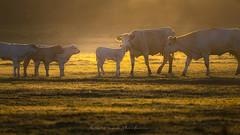 Querelle de campagne (Bertrand Thiéfaine) Tags: campagne vaches veaux leverdujour soleillevant herbe querelle litige famille troupeau paysdelaloire