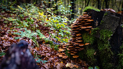 Pilz_0963 (EdiSPix) Tags: unterfranken autumn tamron deutschland herbst germany canon wald faulbach edi hasloch eosr franken eos pilze bayern edispix mushrooms fall