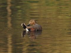 gadwall (simonrowlands) Tags: gadwall anasstrepera lakes ponds marshes olympusem1x300mmf414converter male