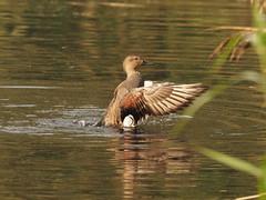 gadwall (simonrowlands) Tags: gadwall anasstrepera duck ponds riversandstreams marshes olympusem1x300mmf414converter