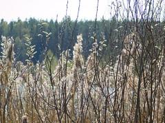 Reet mit Weiden (elisabeth.mcghee) Tags: vogelfreistätte groser rusweiher eschenbach oberpfalz upperpalatinate häuselweiher reet reed see lake natur pflanzen plants weide willow salix