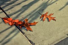 morning pleasures (margycrane) Tags: autumn jesień leaves leaf liście light morning nature sonyilce6000 domiplan