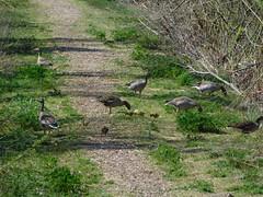 ...immer schön gemächlich.... (elisabeth.mcghee) Tags: vogelfreistätte groser rusweiher häuselweiher graugänse graylag geese anser küken chicks vögel birds wasservögel eschenbach oberpfalz upperpalatinate