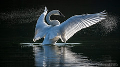 Trumpeter Swan (Cygnus buccinator) (ER Post) Tags: bird swan trumpeterswancygnusbuccinator hickorycorners michigan unitedstatesofamerica backlight wing flap