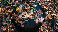 🍁🍂 秋 🍂🍁 (0sire) Tags: fall autumn leaves tree bark stump nature alleypondpark