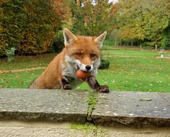 The Quick Brown Fox (Deepgreen2009) Tags: fox canine vixen egg treat food gentle wildlife garden wall close friendly predator animal mammal
