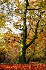 Walking in an Autumn woodland. (Darren Speak) Tags: evacassidy autumnleaves shapes colours peakdistrict tree autumn