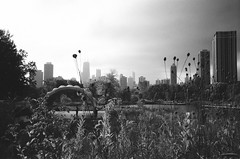 1 of 1 signed 8x12 print of this photo is available on Etsy: etsy.me/36JtKsy (Rough Choir) Tags: skyline chicagoillinois chicago daylight skies overcast clouds sky outdoors buildings city nature building skyscrapers cityscape fp4plus fp4 ilfordfp4plus125 ilfordfp4plus ilfordfp4 ilford blackandwhitefilm blackandwhite bw