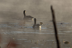 GAP_2019_11_03_0650 (G.A.P.1959) Tags: geese canadiangeese wetlands waterfowl birds fanniestebbins wmass pioneervalley ponds water marsh refuge conservationland morningdew fog