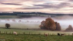 08112015-_DSC0016 (vidjanma) Tags: arbres automne brume fagnoux matin vaches