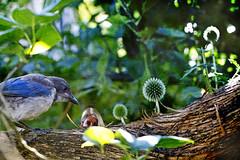 who is watching whom (1crzqbn) Tags: sliderssunday 1crzqbn scrubjay inmygarden birdwatchers textures me