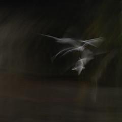 Seagull Study 155 (annemcgr) Tags: seagull gull bird motion flight slowmotion blur icm intentionalcameramovement fineartphotography