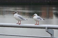 Enjoying the glorious scottish weather (Valantis Antoniades) Tags: rain winter autumn animals animal duck scotland glasgow river clyde