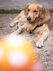 GFX2185 - Little ball (Diego Rosato) Tags: little ball pallina disney cane dog golden retriever animale animal pet fuji gfx50r fujinon gf63mm rawtherapee