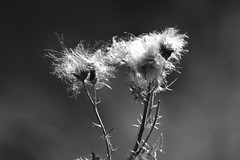 Do Seeds Remember? (Robin Shepperson) Tags: monochrome blackandwhite bw grayscale nikon d3400 tamron 70300mm nature plant seeds pollination gaia spiritualist wildlife leaves stem life lifecycle dandelions bokeh