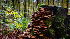 Pilz_0968 (EdiSPix) Tags: unterfranken autumn tamron deutschland herbst germany canon wald faulbach edi hasloch eosr franken eos pilze bayern edispix mushrooms fall schneider edischneider