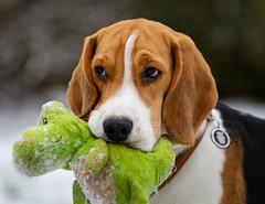 Spike (LuckyMeyer) Tags: snow pet play jagdhund white brown black beagle dog hund