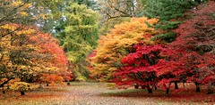 Weston Birt National Arboretum in Gloucestershire (kitmasterbloke) Tags: colour acer autumn color tree fall leaves arboretum gloucestershire westonbirt