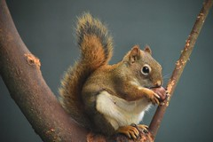 winter is coming. (Daantje1704) Tags: squirrel eekhoorn redsquirrel rodent animal autumn nikon nature holland
