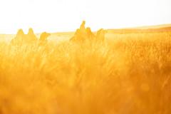 Gold Camels (Cristian Malevic) Tags: 70200 camel d850 dalanzadgad daylight desert gobi golden mongolia nikon outdoor sun sunrise wheat ömnögovĭ mongólia
