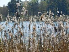 ...nur Reet am Ufer..... (elisabeth.mcghee) Tags: vogelfreistätte groser rusweiher eschenbach oberpfalz upperpalatinate häuselweiher reet reed see lake natur pflanzen plants weide willow salix