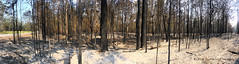 South Side of Black Head Road Fire Scene, Hallidays Point, Mid North Coast, NSW (Black Diamond Images) Tags: thepinesroad blackheadroad extensiveburn grazingland hallidayspoint midnorthcoast nsw australia jackbowen greatlakesnsw saturday26thoctober2019 firefighters ruralfireservice rfs 26102019 26thoctober2019 fire bushfire inferno tallwoods tallwoodsvillage darawanknaturereserve darawankbushfire iphonexbackcamera iphonex iphone shotoniphone panorama iphonexpanorama appleiphonexpanorama appleiphonepanorama iphonepanorama