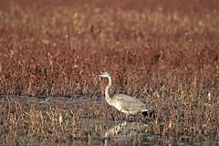 GAP_2019_11_02_0603 (G.A.P.1959) Tags: conservationland refuge marsh water ponds pioneervalley wmass fanniestebbins birds waterfowl wetlands herron blueheron