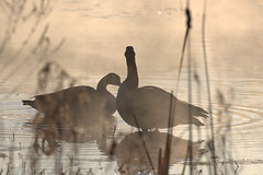 GAP_2019_11_03_0647 (G.A.P.1959) Tags: fog morningdew conservationland refuge marsh water ponds pioneervalley wmass fanniestebbins birds waterfowl wetlands canadiangeese geese