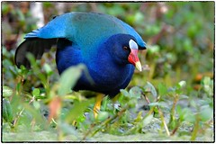 Purple gallinule (RKop) Tags: florida raphaelkopanphotography d500 600mmf4evr circle circlebpreserve 14xtciii