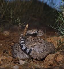 Western Diamondback Rattlesnake (Crotalus atrox) (tropidechis2) Tags: chrishay arizonasnakes wildlife nature reptile snake rattlesnake crotalinae crotalus westerndiamondbackrattlesnake crotalusatrox