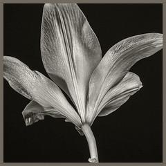 Flower  #2 2019; Fleur-de-Lis (hamsiksa) Tags: plants flora lilies liliaceae fleurdelis grocerystore flowers blooms blossoms blackwhite studio studiophotography botanicals flowersinblackwhite stilllife