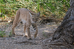 Bobcat (Lynx rufus) (sparverius81) Tags: nature wildlife naturaleza cat wildcat gato