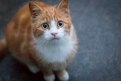 Kitten (Ronan McCormick) Tags: ilobsterit canon ireland animal cat cats catsofflickr ginger kitten portrait stray