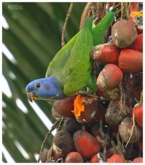 Loro Cabeciazul, Pionus menstruus, Blue-headed Parrot. Limoncocha, Sucumbios, Ecuador (manuelespinosa10) Tags: blueheaded parrot pionus menstruus