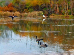 Saugeen River Trail (scilit) Tags: river trail egret cormorant geese mallard waterfowl grasses trees forest ripples reflections water waterscape landscape scenery birds nature autumn tranquility pastoral painterly tistheseason