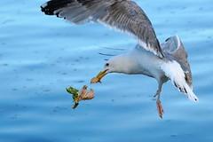 Fish Burger (hansjoergBo) Tags: nature birds gull herringgull tourist ressort baltic dziwnow
