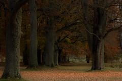 (isabelle bugeaud) Tags: arbre automne suède sweden feuille roux allée