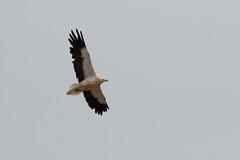 Neophron percnopterus - Egyptian Vulture - Vautour percnoptère BIG-1 (adrien2008) Tags: neophron percnopterus egyptian vulture vautour percnoptère