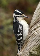 _A993858 (mbisgrove) Tags: downy a99m2 bird a99ii feeding woodpecker canadian sal70400g2 sony