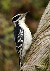 _A993846 (mbisgrove) Tags: canadian bird a99ii a99m2 ontario northern sony sal70400g2 woodpecker downy
