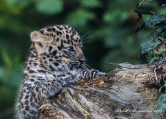 The pause before the climb (muppet1970) Tags: colchesterzoo amurleopard cubs leopard captive zoo bigcat