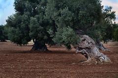 The bow (corrad) Tags: olivetree salento puglia tree trees