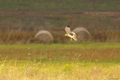 FNH1 (S. J. Coates Images) Tags: wolfeisland hawk northern harrier birdofprey raptor