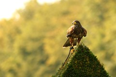 Bourbansais_016 (boeddhaken) Tags: bird birds animals nature fauna buzzard